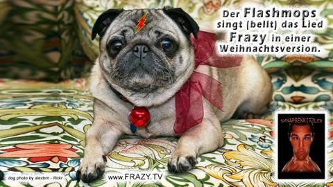 Photo Flashmops bellt Frazy Weihnachtslied